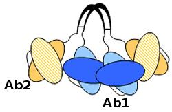 Tetravalent dual-specific antibody
