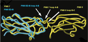 Structural comparison of the interface between the FNIII 7/FN III8 and between the ED-B/FNIII 8 domains by superimposition of structures of the ED-B with FNIII 7. Ventura et al. 2010 adapted from Fattorusso et al. (1999) Structure 7:381-390.